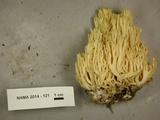 Ramaria cystidiophora var. citronella image