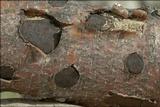 Biscogniauxia nummularia image