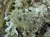 Biatoropsis usnearum image