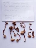 Hodophilus paupertinus image