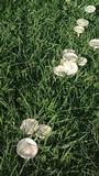 Amanita foetidissima image