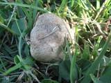 Leucoagaricus barssii image