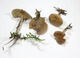Gymnopus peronatus image