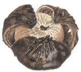 Astraeus pteridis image