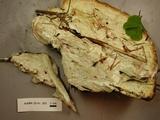 Oligoporus guttulatus image