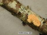 Peniophora erikssonii image