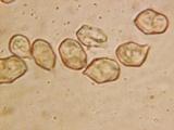 Nolanea holoconiota image