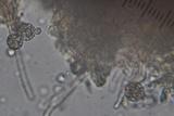 Gloiodon strigosus image