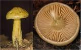 Tricholoma sulphureum image
