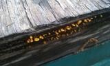 Dacryopinax spathularia image
