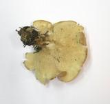 Clitocybe subsalmonea image