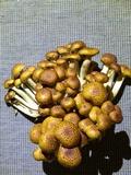 Pholiota adiposa image