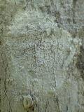 Arthonia pruinata image