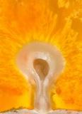 Ascopolyporus polychrous image