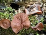 Gyromitra leucoxantha image