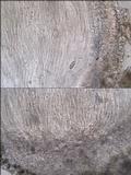 Thelopsis isiaca image