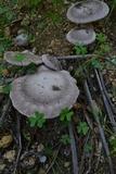 Pleurotus eryngii image