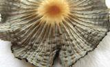Parasola auricoma image