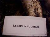 Leccinum vulpinum image