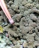 Parmelia saxatilis image