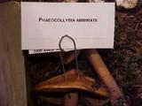 Phaeocollybia ammiratii image
