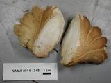 Oligoporus obductus image