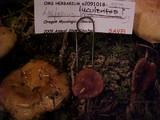 Lactarius luculentus image