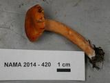 Lactarius subflammeus image