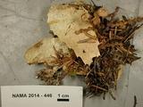 Mycetinis scorodonius image