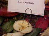 Russula raoultii image