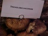 Tricholoma vaccinum image