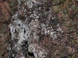 Lachnellula resinaria image