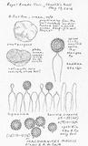 Image of Elasmomyces mollis