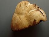 Elasmomyces mollis image