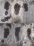 Diploicia canescens image