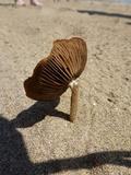 Psathyrella ammophila image