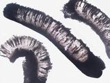 Diploschistes diacapsis image