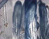 Bacidia laurocerasi image
