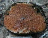 Gautieria parksiana image