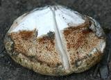 Tyromyces leucospongia image