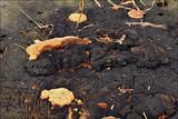 Gloeophyllum odoratum image