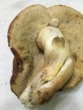 Xanthoconium affine image