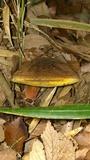 Image of Baorangia pseudocalopus