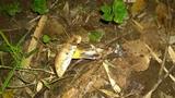 Baorangia pseudocalopus image