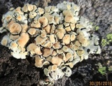 Rhizoplaca chrysoleuca image