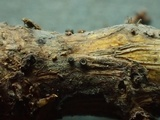 Pyrenopeziza urticicola image