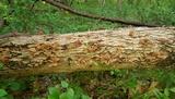 Auricularia angiospermarum image