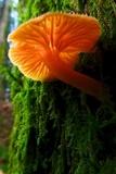 Chrysomphalina aurantiaca image