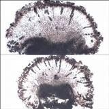 Rinodina atrocinerea image