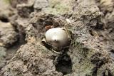 Broomeia congregata image